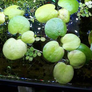 Plantes aquarium Grenouillettes