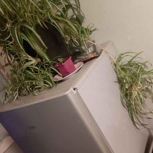 Pousses plante araignée