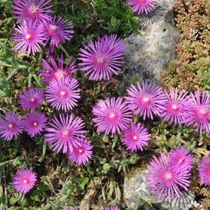 Ficoïde violet vivace